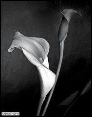 Calla lily up-close (DelioTO) Tags: flowers stilllife toronto ontario canada closeup blackwhite pinhole april 4x5 curved f200 adox25 autaut ro9