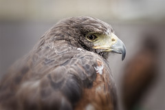 Harris Hawk (CelticOrigins Photography) Tags: portrait england blackandwhite bw bird animal canon photography northwest hawk north raptor buzzard captive 100400mm birdofprey gauntlet knutsford captivewildlife harrishawk parabuteounicinctus baywingedhawk duskyhawk welshphotographer gauntletbirdsofpreyeagleandvulturepark celticorigins celticoriginsphotography