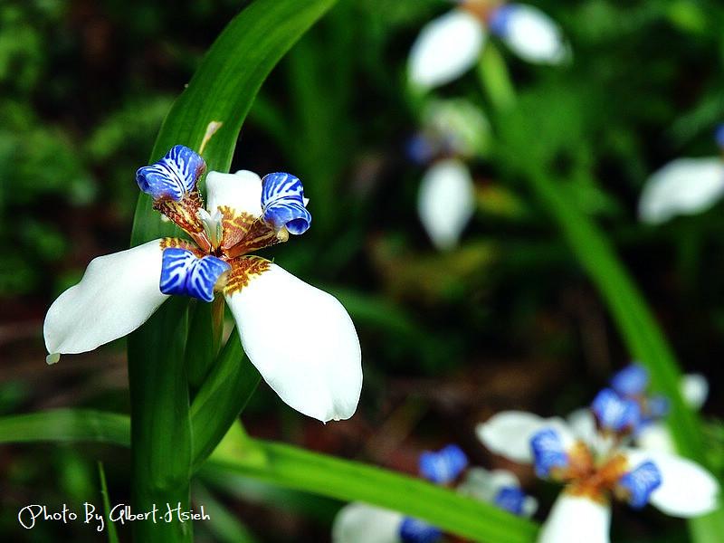 【花朵】桃園大溪.復興路(限定綻放一天的美麗巴西鳶尾)