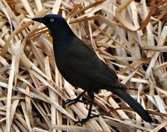 Nesting in the Reeds (Stella Blu) Tags: stella canada black bird animal reeds edmonton blu alberta commongrackle gamewinner nikkor18200 friendlychallenges yourock2nd nikond5000 storybookwinner pregamewinner