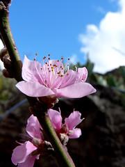El Amor Es una Cosa Simple (Gomereta) Tags: familia relax flor ideal lugar rato finca maravilla tranquilidad agradable batan frutal duraznero nispereros