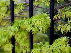 Acer Spring (the justified sinner) Tags: morning wet leaves leaf spring maple md minolta 14 panasonic acer g1 50 rokkor justifiedsinner