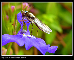 Gold Plated Hoverfly (Riquochet) Tags: purple wildlife insects hoverfly lobelia syrphidae hoverflies blackandyellow aposematic