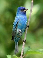 Indigo Bunting (AllHarts) Tags: nature indigobunting amazingnature featherweights specanimal arealbeauty fantasticnature wingedwonders hollyspringsms anawesomeshot awesomebirds natureiswonderful naturesspirit strawberryplainsauduboncenter feathersbeaksbirds alittlebeauty pogchallengewinnershalloffame naturesbeautifulphotography naturesprime naturescarousel see~a~wonder pickyourart naturesprimehalloffame birdography bestofnaturesprime natureliveadevotiontonature naturespotofgoldlevel2 canoneos7dfans treasuresofkeepyoureyesopen naturespotofgoldlevel1 naturespotofgoldlevel3wildernesstrails sjohnsontintiniansfauna respectandappreciationforphotography amazingnaturelevel2 amazingnaturelevel3 birdsbirdsbirdsbirdsyougetthepoint majesticinnature planetearthsobeautiful howardandcazsgallery soarinnaturesspirit