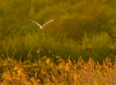 _MG_0037 Barn Owl (Tyto alba), Brandon Marsh, Warwickshire 06May12 (Lathers) Tags: brandon warwickshire barnowl tytoalba nbw brandonmarsh 06may12 canon7d canonef500f4lisusm wkwt