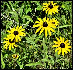 Lazy Lazy Susan (Lisa Plymell) Tags: flower color nature female nikon bright sunny kansascity nikkor lazysusan amature d3100 nikond3100
