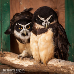 Spectacled owl (Richard Olpin LRPS) Tags: bird animal fauna flickr wildlife owl online herefordshire facebook kington spectacledowl owlcentre