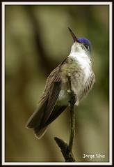 Azure-crowned Hummingbird (Jorge De Silva R) Tags: hummingbird azurecrowned