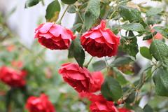 "Roses covered with raindrops in Harajuku, Tokyo (Kiccororin) Tags: flower rose canon tokyo redrose harajuku 東京 tamron x5 薔薇 原宿 雨 バラ ""kiss eos600d kissx5"