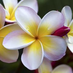 after the rain (_aires_) Tags: macro canon droplets drops plumeria bokeh aires 100mm gotas frangipani ourtime suche limaperu naturesfinest 50d ires canonef100mmf28macrousm contemporaryartsociety canoneos50d canon50d imagesforthelittleprince