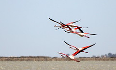 Greater Flamingos flying in Camargue (ax3l82) Tags: wild france bird birds rose fly flamingo rosa greater provence camargue fenicotteri flamant phoenicopterus roseus
