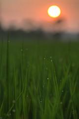 ~~ (PS~~) Tags: morning plants color sunrise canon landscape photography image lotus taiwan drew fresh temperature aquatic  taoyuan               mirrorless         plantsaquaticplants