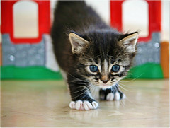 Little kitty  =^..^=  (Viola & Cats =^..^=) Tags: cats pets animals kittens kitties felines gatti animali gattini catnipaddicts
