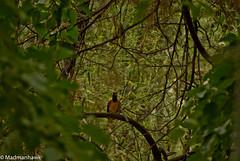 blackheaded oreal3-86 (Hawkclicks) Tags: india bird birds woodpecker eagle hawk wildlife watching kingfisher mp vulture ornithology stork pench bandhavgarh kanha sonydslr