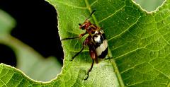 DSC09973 cpia (Bucci 10) Tags: brazil brasil insect sopaulo sony flash robson diffuser experimento bucci jardimbotnicosp alpha100 difusor iseto 2flash robo 50mmquantaraymacrotech10mxaf flashdiyflashdiffuser alpha390 robsonbucci