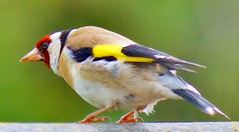 Goldfinch (Paul (Barniegoog)) Tags: red bird nature yellow garden countryside eyes goldfinch beak feathers soe twitcher gardenbird blinkagain bestofblinkwinners freedomtosoarlevel1birdphotosonly