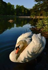 Male swan guarding female on nest (blinkingidiot) Tags: light male swan nest first nottinghamshire guarding muteswan universityofnottingham thegalaxy nottinghamuniversity highfieldpark nottinghamwildlife mygearandmesilver eltringexcellence allofnatureswildlifelevel1 rememberthatmomentlevel4 rememberthatmomentlevel1 rememberthatmomentlevel5