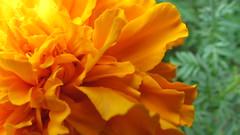 chrysanthemum (j28803) Tags: orange flower macro up close chrysanthemum macroflowerlovers