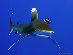 Lone Shark (bodiver) Tags: hawaii shark ambientlight freediving fins