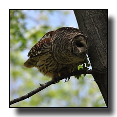 Barred Owl (Hold still) Tags: birds flickr barredowl nikond90 squawcreeknationalwildliferefuge afsnikkor70300mm adobephotoshopelements8 elementsorganizer