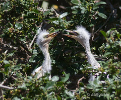 Wee Ones (d-lilly) Tags: ngc snowyegret rawfiles snowyegretchicks lakeshorepark2012