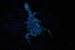 IMG_5220 (cave_troll) Tags: light glow uv scorpion