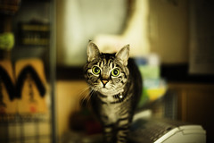 Big Rounded Eyes (moaan) Tags: digital cat 50mm dof bokeh americanshorthair front utata ryokan aomori mixedbreed 2012  f12 japaneseinn ef50mmf12lusm canoneos5dmarkiii shimofuro shimofurospa kazamauramura