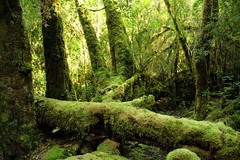 forest (island home) Tags: trees green nationalpark moss rainforest australia tasmania tas franklingordonwildriversnationalpark
