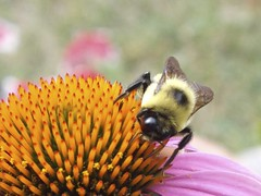 bee on coneflower (avflinsch) Tags: macro garden insect wildlife nj bee coneflower s4500