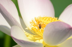Bee and Lotus Flower 1 (mjustiniano1) Tags: flower macro nikon lotus bee landing micro pollination 70300vr kenilworthacquaticgardens d7000