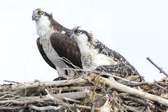 osprey ospreys Fish Hawk bird Bird of Prey carnivore Osprey Nest Sea Hawk (moonman82) Tags: osprey ospreys seahawk ospreynest