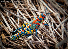 Colors of Nature (Artvet) Tags: rainbow grasshopper bicolor dactylotumbicolor dactylotum rainbowgrasshopper