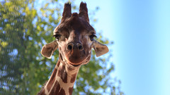 Giraffe (lassi.kurkijarvi) Tags: amsterdam animals zoo giraffe artis artiszoo amsterdamzoo