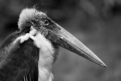 "Marabou Stork • <a style=""font-size:0.8em;"" href=""http://www.flickr.com/photos/62284930@N02/7605202454/"" target=""_blank"">View on Flickr</a>"