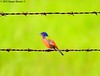 Painted Bunting Male - Bayou Courtableau, Louisiana (Image Hunter 1) Tags: blue red orange male green nature birds yellow wire louisiana bokeh bayou swamp barbedwire perch perched marsh barbed paintedbunting canoneos7d birdslouisiana bayoucourtableau