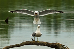 Common Gull landing (Paulusbor) Tags: fish bird nature water feeding wildlife gull landing commongull harchies