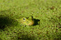 Frog (sillie_R) Tags: water frog