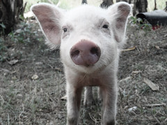 cutie piglet (Lhei | bBernas) Tags: animals photography photo samsung w150f