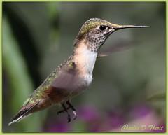 Broad-tailed Hummingbird Female (ctofcsco) Tags: canon 1div 400mm 2x anawesomeshot flickrsfinestimages1 allofnatureswildlifelevel1 allofnatureswildlifelevel2 allofnatureswildlifelevel3 allofnatureswildlifelevel4 allofnatureswildlifelevel5 explore allofnatureswildlifelevel6 extender allofnatureswildlifelevel7 nature wildlife hummingbird bird colorado 1d mark iv ef400mm f28l ii usm ef400mmf28liiusm telephoto bokeh ef2x extenderef2xii flight hummingbirdinflight inflight eos1d eos1dmarkiv eos 4 mark4 800mm co unitedstates usa northamerica supertelephoto teleconverter ef2xii best wonderful perfect fabulous great photo pic picture image photograph