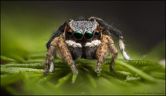 anomalus re-edit b (GTV6FLETCH) Tags: maratus peacockspider spider jumpingspider macro macrophotography zerene canonmpe65mm15xmacro canoneos5dmark2 5dmarkii 5d2 5dmii mpe65mm mpe65 mpe maratusanomalus peacockjumpingspider focusstack focusstacking canon