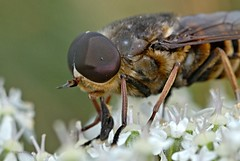 Pferdebremse 2 (DianaFE) Tags: dianafe insekt fliege blume pflanze tiefenschrfe schrfentiefe bremse makro freihandmakro
