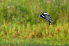 Belted Kingfisher (macmirabile) Tags: huntleymeadows nikond600 sigma150600s 600mm beltedkingfisher kingfisher alexandria