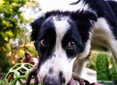 Fate (Crawford Canines) Tags: bordercollies puppy dog animal mammal ball holleeroller fetch outdoors grass summer