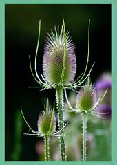 AH62_8157 (der_andyrandy) Tags: blumen blte flowers garten amazingamazing thisphotorocks canoneos7d macro pflanze makro luckyorgood