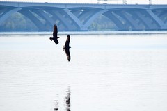 A Pair of Osprey (eaglespiritsoaring) Tags: outdoor marsh marina alexandria dc bridge potomac silhouette osprey bird