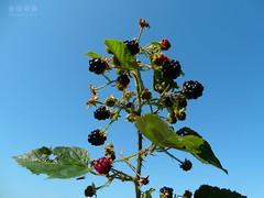 Brombeere (Rubus sectio Rubus) -  Blackberry (Rubus sectio Rubus) (warata) Tags: 2016 deutschland germany sddeutschland southerngermany schwaben swabia oberschwabenupperswabia schwbischesoberland badenwrttemberg allgu wrttembergischesallgu wildpflanze frchte brombeere rubussectiorubus blackberry