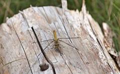 Libelle auf Baumstamm (oleschmidt_fotografie) Tags: dragonfly libelle outside baumstamm grass grasgrn gelb tree canoneos700d feuersteinfelder flintstonefield