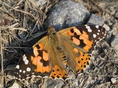 Painted Lady / Diestelfalter (Vanessa cardui) (ralph_behrens) Tags: schmetterling butterfly papillion distelfalter paintedlady vanessacardui