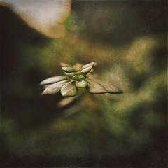 Macro (rvcroffi) Tags: moss musgo natureza nature mextures close green verde plant brifita macro