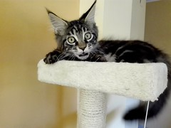 Baloo (4 months old) Kitty Maine coon (romeosilverpersian) Tags: mainecooncat mainecoonkitten mainecoon coonie kitten kittens gattino gattini tabby cat cats scratchingpost tiragraffi
